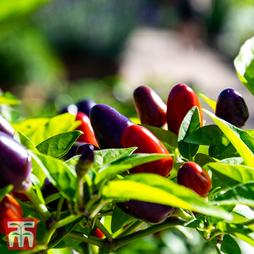 Chilli Pepper 'Prairie Fire' (Hot)