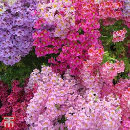 Schizanthus 'Dwarf Bouquet Mixed'