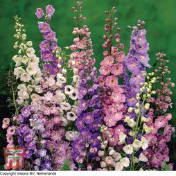 Delphinium hybridum 'Pacific Giants Mixed'