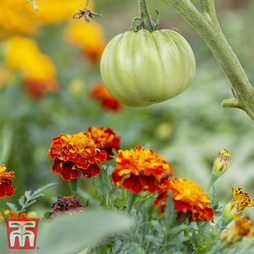 Marigold 'Tomato Growing Secret'