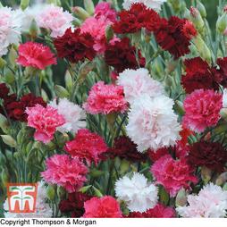 Dianthus plumarius 'Sonata'