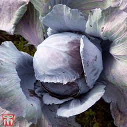 Cabbage 'Ruby Ball' F1 Hybrid (Autumn)