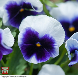 Pansy 'Silver Wings'