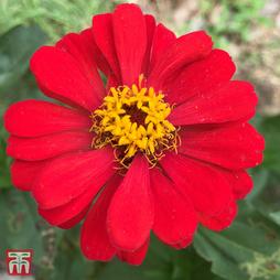 Zinnia 'Red Spider'