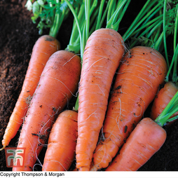 Carrot 'Autumn King 2'