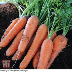 Carrot 'Nantes 2'