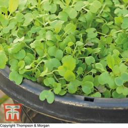 Salad Leaves 'Stir Fry Mixed'