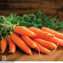 Carrot 'Chantenay Red Cored 3 - Supreme'