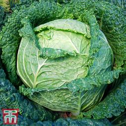 Cabbage 'Siberia' F1 Hybrid (Winter Savoy)