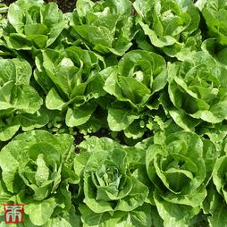 Lettuce 'Valmaine' (Romaine/Cut And Come Again)
