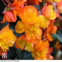 Begonia x tuberhybrida 'Chanson Orange & Yellow Bicolour' F1 Hybrid