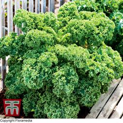 Kale 'Dwarf Green Curled'