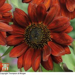 Sunflower 'Velvet Queen'