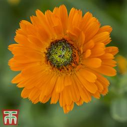 Calendula officinalis 'Greenheart Orange'