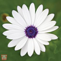 Osteospermum 'Glistening White'