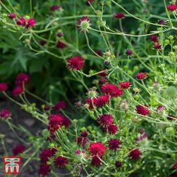 Knautia macedonica