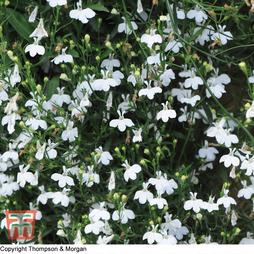 Lobelia erinus 'White Cascade'