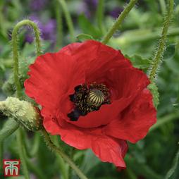 Poppy 'Brilliant'