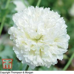 Poppy 'Applegreen'