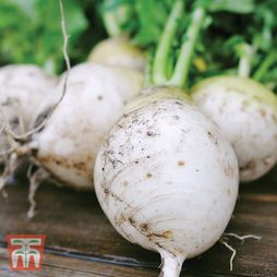 Turnip 'Snowball'