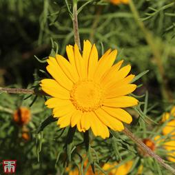 Cladanthus arabicus 'Golden Crown'