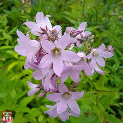 Campanula lactiflora 'Dwarf Pink'