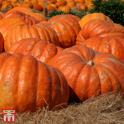 Pumpkin 'Dill's Atlantic Giant'