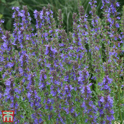 Hyssopus officinalis 'Tricolour Mixed'
