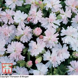 Silene pendula 'Peach Blossom'