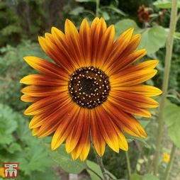 Sunflower 'Earth Walker'