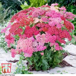 Achillea millefolium 'Summer Pastels' F2 Hybrid