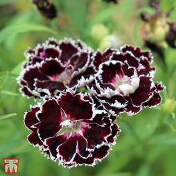 Dianthus chinensis heddewigii 'Black And White Minstrels'