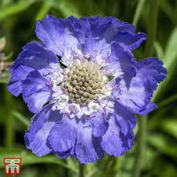Scabious 'House's Novelty Mix'