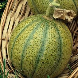 Melon 'Ogen'