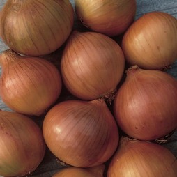 Onion 'Setton' (Spring Planting)