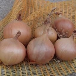 Onion 'Sturon' (Spring Planting)
