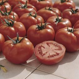 Tomato 'Ferline' F1 Hybrid
