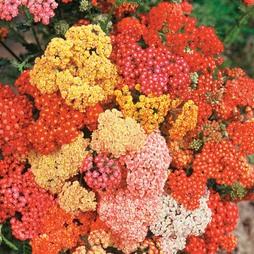 Achillea millefolium 'Summer Berries' F2 Hybrid