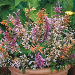 Agastache aurantiaca 'Fragrant Mixed'