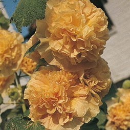 Hollyhock 'Chater's Double Apricot'