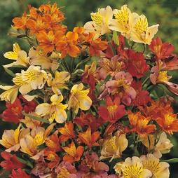 Alstroemeria 'Ligtu Hybrids'