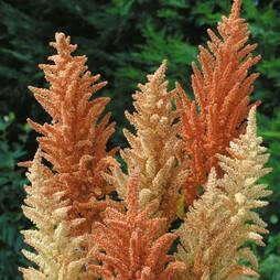 Amaranthus paniculatus 'Autumn Palette'