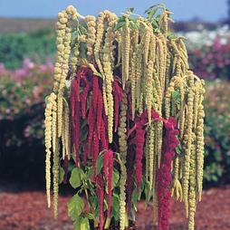 Amaranthus caudatus 'Pony Tails Mixed'
