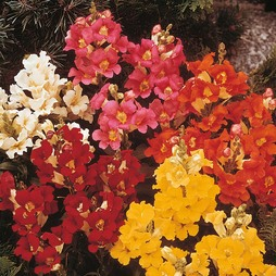 Antirrhinum nanum 'Dwarf Bedding Mixed'