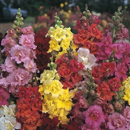 Antirrhinum majus 'Double Madame Butterfly Mixed' F1 Hybrid