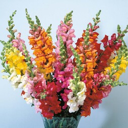 Antirrhinum 'Axiom Series Mixed' F1 Hybrid