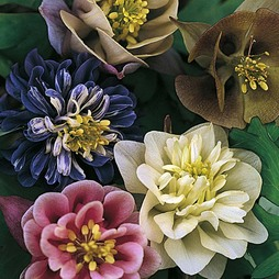 Aquilegia 'Sweet Rainbows'