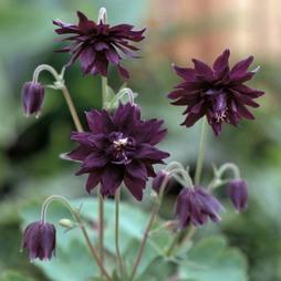 Aquilegia vulgaris 'Miss M.I. Huish'