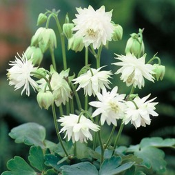 Aquilegia x hybrida 'Green Apples'