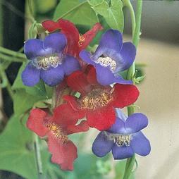 Asarina antirrhiniflora (Mixed)